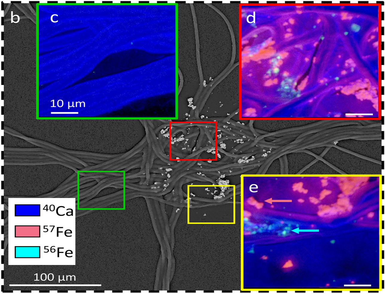 NanoSIMS mapping shows centering of newly added iron and retention of other older iron particles
