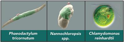 Three model algal species: Phaeodactylum tricornutum, Nannocloropsis spp., Chlamydomonas reinhardtii