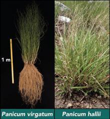 Bioenergy relevant grasses: Panicum virgatum and Pancium hallii